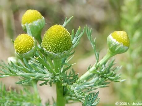 Pineapple weed 0621 095231