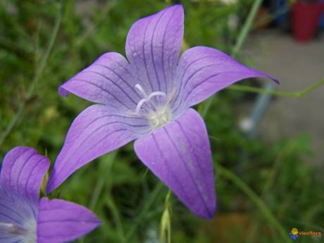 Campanule raiponce visoflora 3801